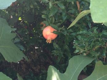 Granatapfel mit Feigenbaum