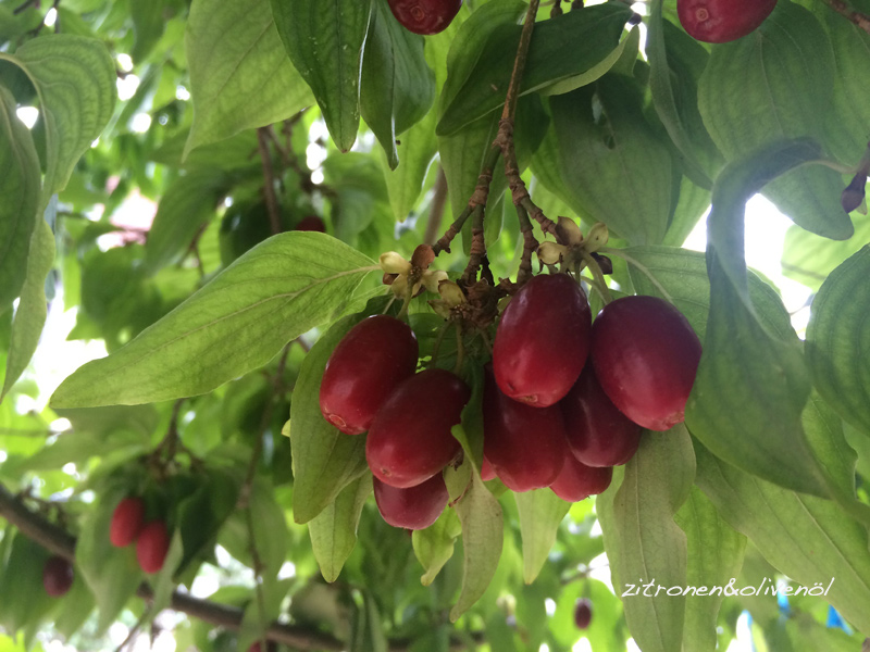 Kornelkirschen Ernte